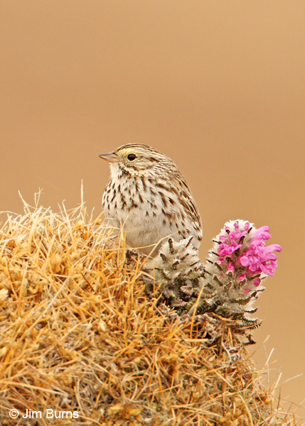 Savannah Sparrow and Arctic Lousewart
