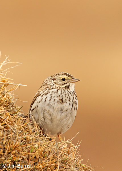 Savannah Sparrow on tundra