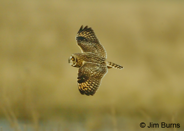 Short-eared Owl in flight dorsal view