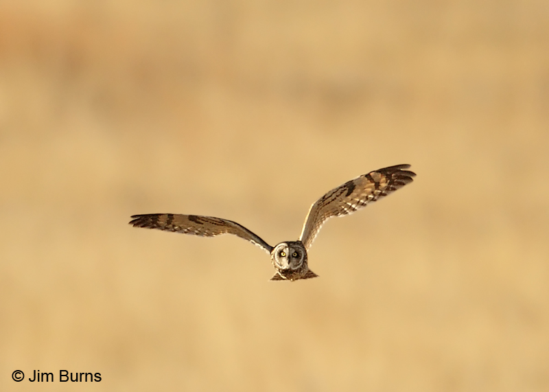 Short-eared Owl coursing at sunset