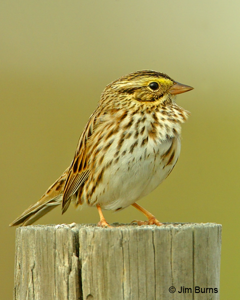 Savannah Sparrow on post