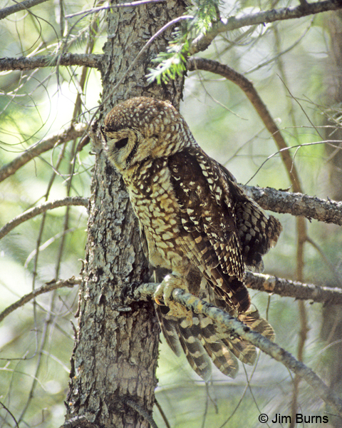 Spotted Owl adult wingstretch