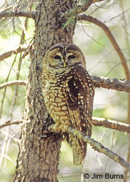 Spotted Owl adult