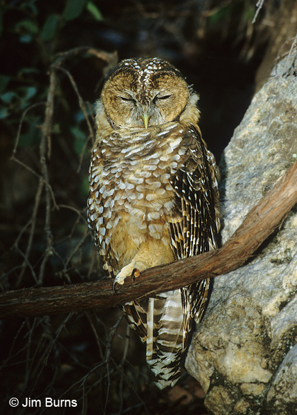 Spotted Owl brancher asleep on branch