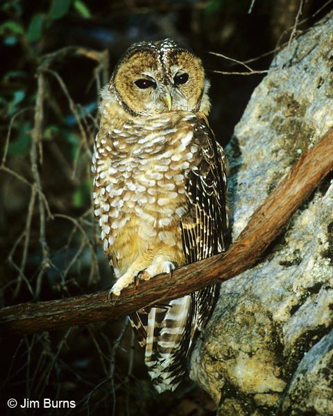 Spotted Owl juvenile on branch