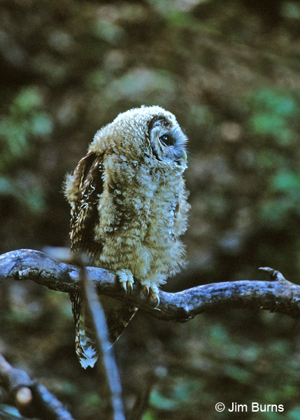 Spotted Owl juvenile