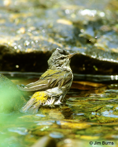 Tennessee Warbler bathing