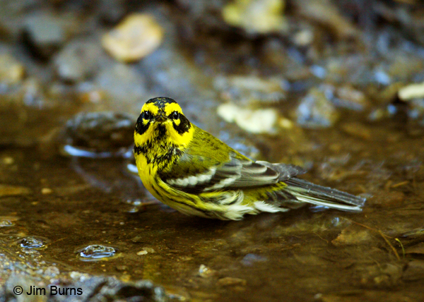 Townsend's Warbler female bathing