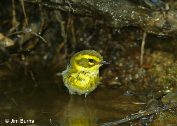 Townsend's Warbler first fall female
