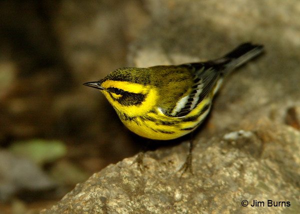 Townsend's Warbler female