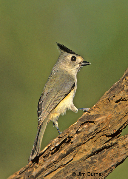 Tufted Titmouse, black-crested form