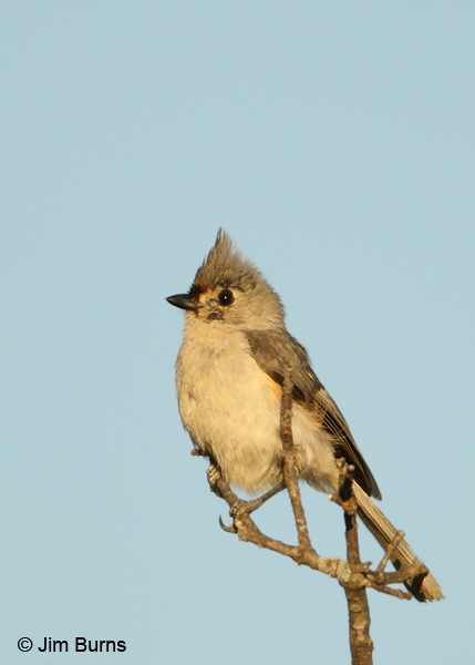 Tufted Titmouse sunrise
