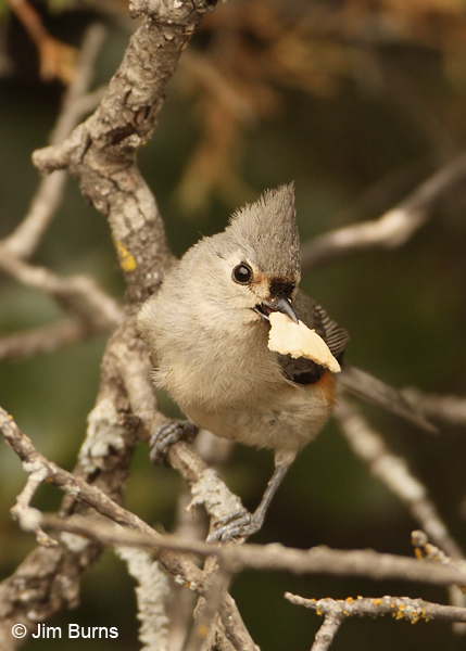 Tufted Titmouse with butterfly