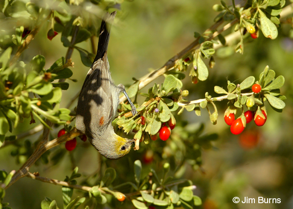 Verdin feeding on wolfberry