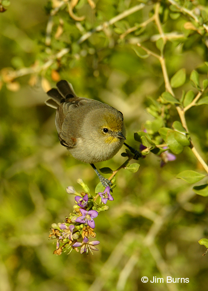 Verdin in flowering bush