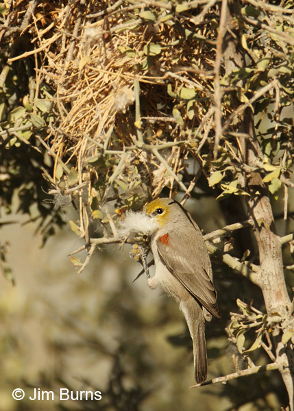 Verdin male with nesting material
