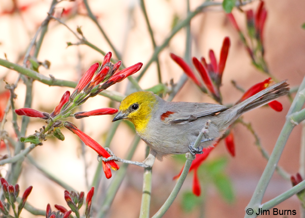 Verdin male holding Chuparosa petal with foot