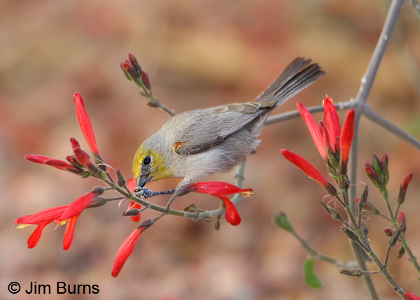 Verdin male using foot to steady Chuparosa petal
