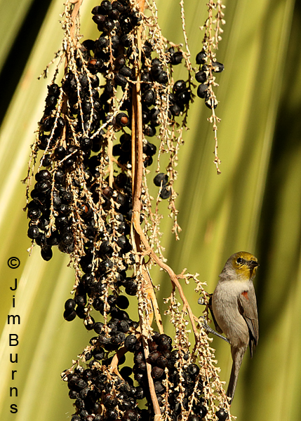 Verdin on Fan Palm vertical