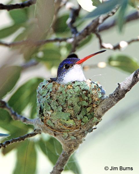 Violet crowned hummingbird