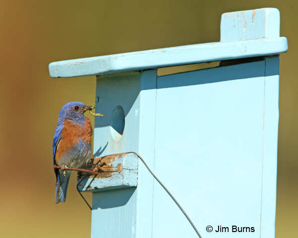 Western Bluebird with inchworm