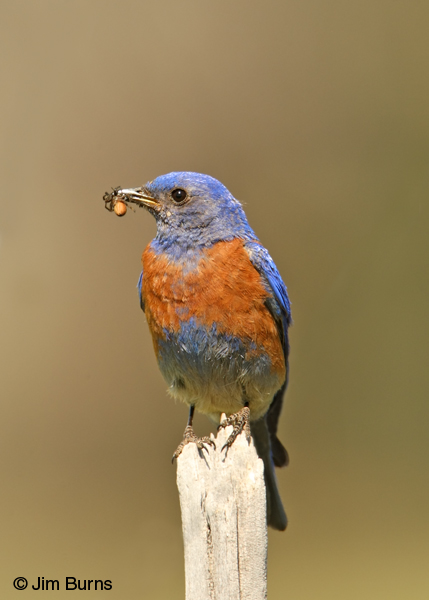 Western Bluebird male with spider