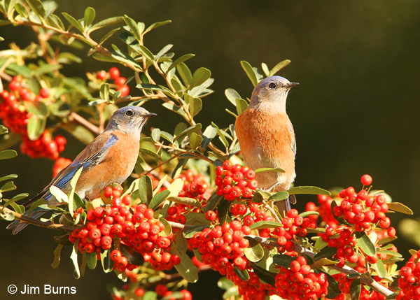 Western Bluebirds in Pyracantha