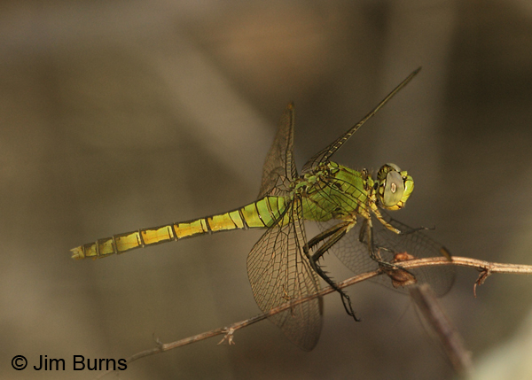 Western Pondhawk female, Graham Co., AZ, August 2012