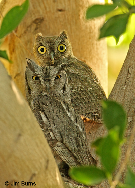 Western Screech-Owl adult and brancher