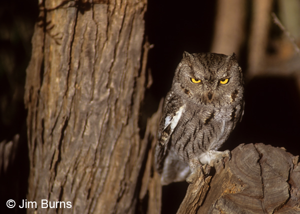 Western Screech-Owl headlights