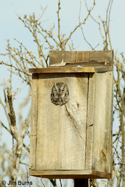 Western Screech-Owl in nest box