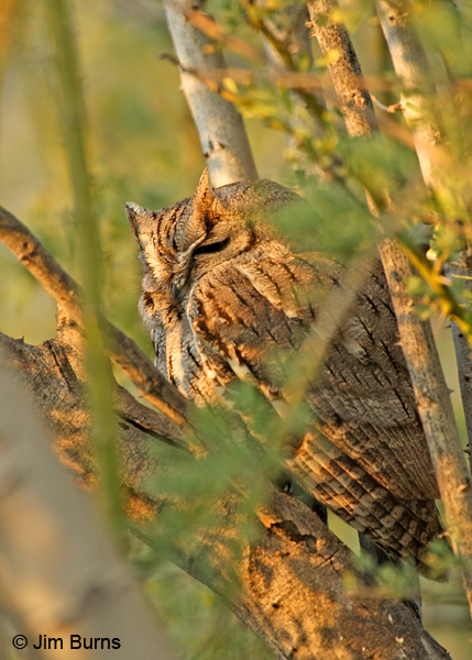 Western Screech-Owl on day roost