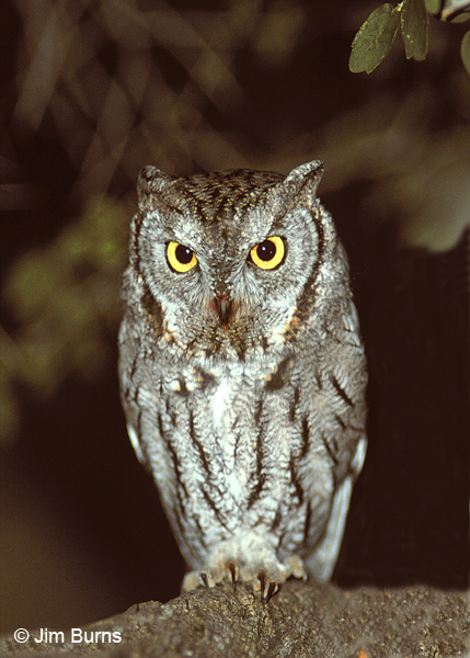 Western Screech-Owl with blood on its beak