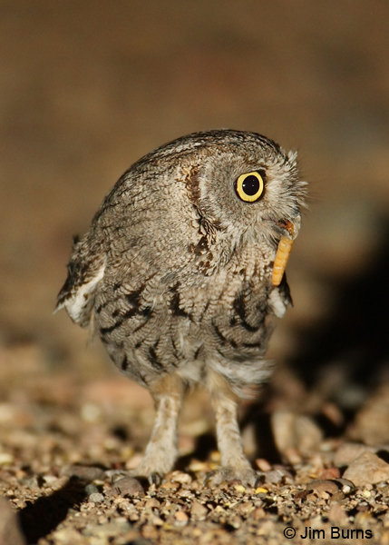 Western Screech-Owl with worm