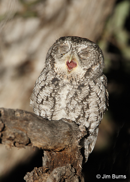 Whiskered Screech-Owl expelling pellet