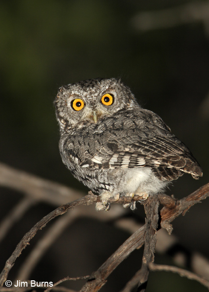 Whiskered Screech-Owl headlights