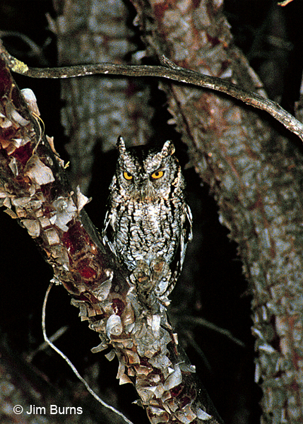 Whiskered Screech-Owl in Alligator Juniper