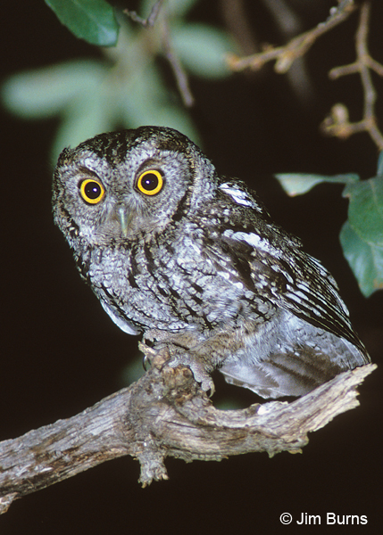 Whiskered Screech-Owl on night patrol
