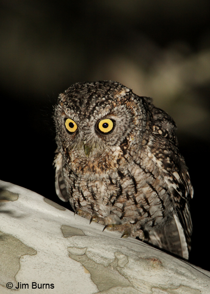 Whiskered Screech-Owl puffed out calling