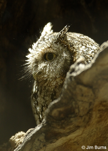 Whiskered Screech-Owl showing length of rictal bristles