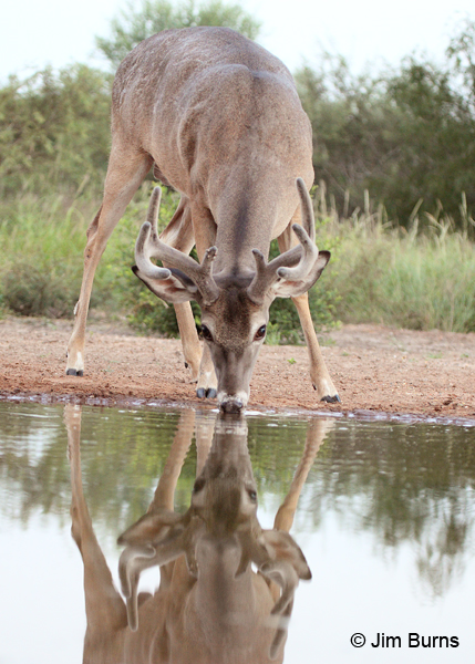 White-tailed Deer buck sunrise drink
