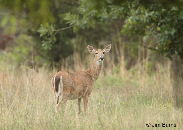 White-tailed Deer in clearing