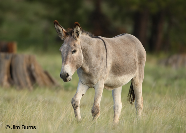 Wild Burro showing zebra stripe