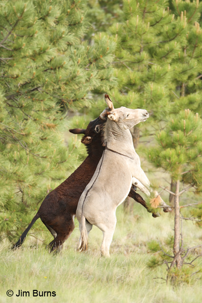 Wild Burro mated pair at play