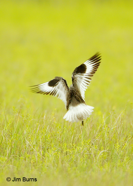 Willet wings