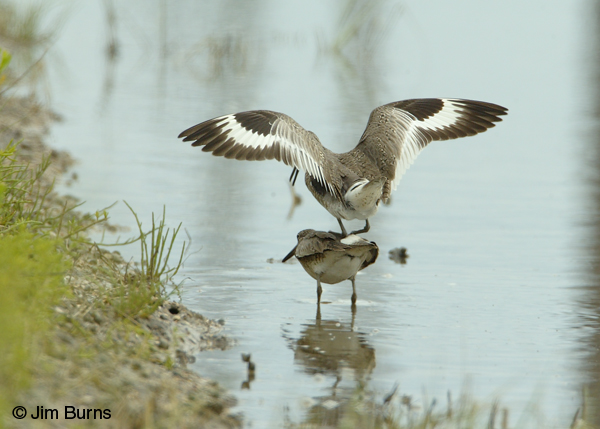Willets copulating