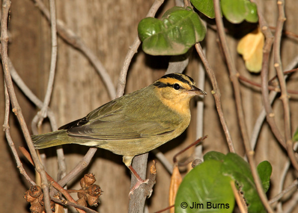 Worm-eating Warbler in vines