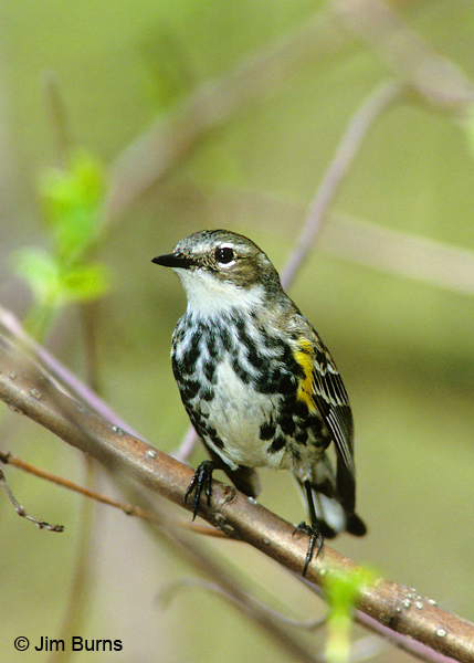 Yellow-rumped Warbler (Myrtle) female