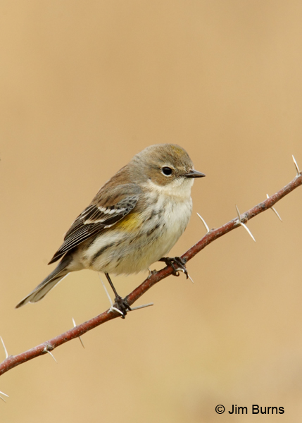 Yellow-rumped Warbler (Myrtle) juvenile
