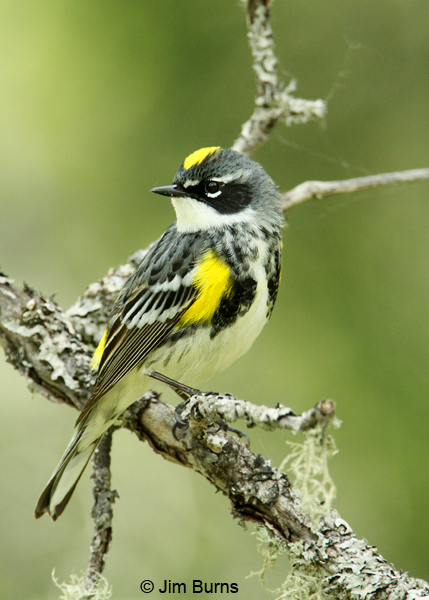 Yellow-rumped Warbler (Myrtle) male crown patch